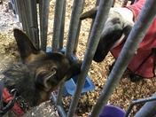 My service dog enjoying the farm animals