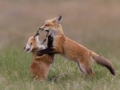 Red Fox Kits fighting