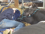 Snoozing with the cows