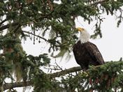 Coastal Bald Eagle