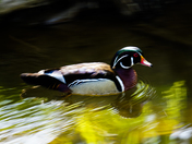 Floating duck