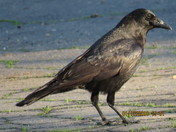 Crow in parking lot