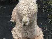 Sleeping alpaca at Farm Show