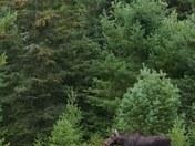 Cow Moose Algonquin park