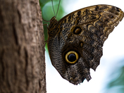 Owl Butterfly at Niagara