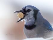 Hungry Jay