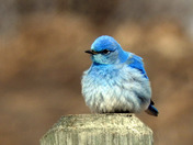 Fierce Bluebird