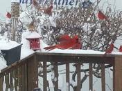 Cardinals in Taylorsville Kentucky