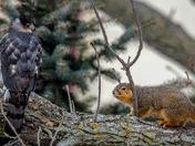 Cooper's Hawk and Squirrel