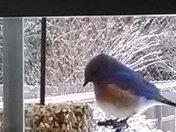 Bluebirds in Berea.