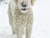 Winston enjoying the snow