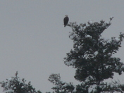 """Eagle over Arlington Mill Pond"""