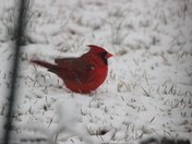 Cardinal in the snow, Broadway Lake, Anderson County.