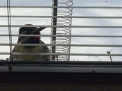 This woodpecker kept coming to the window and pecking as loud as he could to come in!