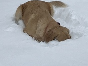 My golden retriever Maisy playing in the snow today and refusing to come back inside.