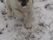 Puppy snow nose
