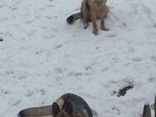 Atra family German Shepherds