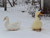 Pekin ducks and dog