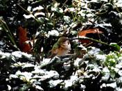 A wintering rufous hummingbird