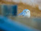 Snowy Owl in Omaha