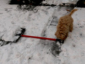 Rosie 4 month old Cockapoo helping out with shoveling in Framingham.