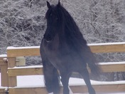 Nick (Friesian Horse) having fun in the snow in Simpsonville!