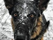 "This is my German Shepherd ""Jameson"" enjoying his first snow day."