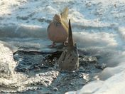 Opps: surprise winter bath for the mourning dove