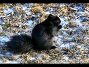 Black Squirrel enjoying our backyard