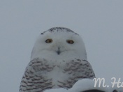 Snow owl Keene NH