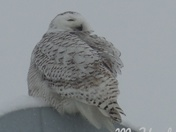 Snow owl Keene NH