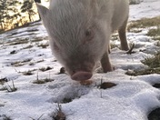 Peanut the piggy enjoying the view and snow. 🐖🐖
