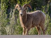 Roadside Ram