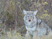 Blood face Coyote