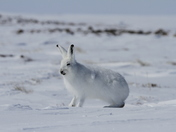 Arctic hare (Lepus arcticus) getting ready to jump while sitting on snow and shedding its winter coat