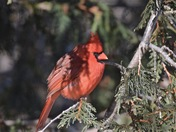 RED BIRD IN THE CEDAR...CARDINAL!