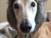 Charlie the Grehound