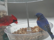 Breakfast for the Cardinal and Bluebird