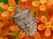 4c. Spined soldier bug