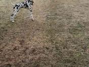 A true Dalmatian