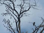 Juvenile bald eagle sitting in a tree with smaller birds