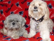 Shih Tzu fan club of the NE Patriots!