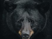 5b. Black bear