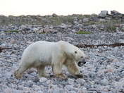 Polar Bear (Ursus Maritimus) walking along a rocky shoreline near Arviat, Nunavut