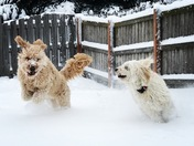 Dogs loving the snow