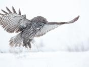 3d. Grey owl