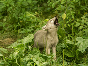 Wolf Pup Howling