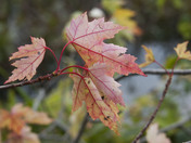 Petrie Island's maple leaves