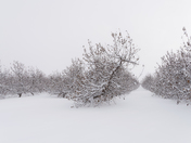 Apple Orchard in Snow
