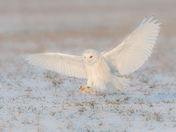 Snowy Owl first year Male